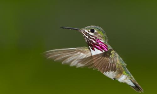 Humming Bird nature